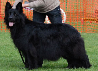 long haired black german shepherd puppies for sale photos 2525